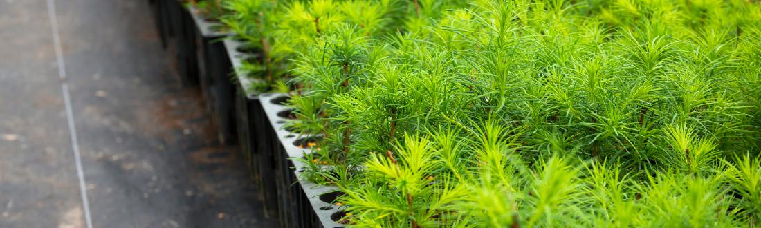 鮮やかな緑色の苗木