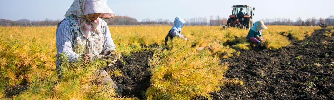 秋の苗木畑での作業