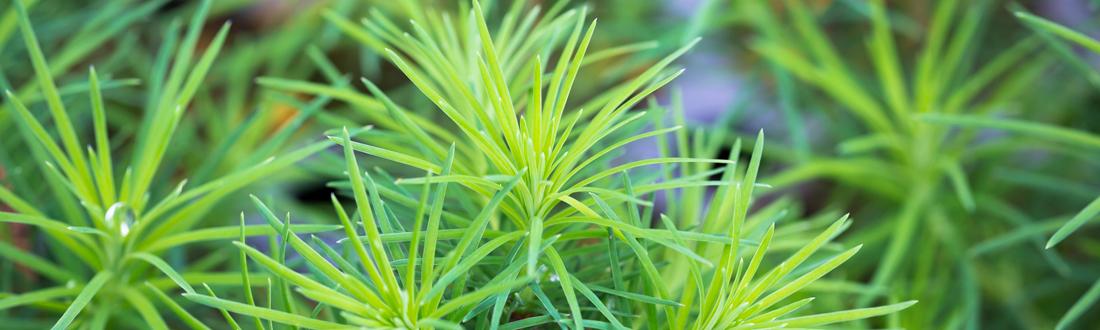 瑞々しい松の葉