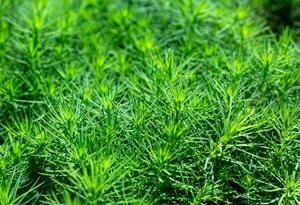 松の若い芽