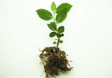 アロニアの芽